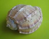 """Sea Shell Seashells 3"""" Harpa Davidus Shell"""