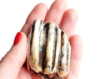Cow tooth bison tooth fossil, tooth jewelry supply, washed up on a beach in Edinburgh, Scotland 0380