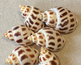 Set of 6 Babalonia shells