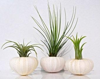 Air Plant KIT - Includes: 3 Tillandsia Live Air Plants + 3 Almost White Sea Urchin Shells + Gift Box * Genuine Sea Shell Planters Terrarium