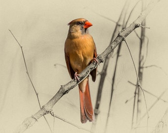 Northern Cardinal - Limited Edition