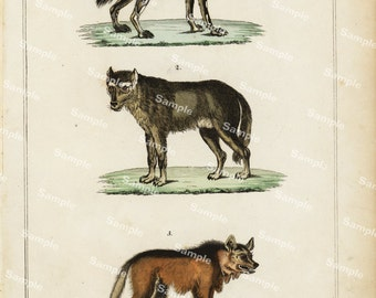 Animal Natural History original hand colored print of Dogs and wolf over 150 years old Rare find