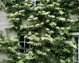 Seemannii Evergreen Climbing Hydrangea - Live Plant - Quart Pot