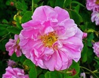 Rose absolute -1ml