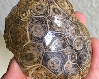 Top Quality 113g Petoskey Stone (Fossil Coral) - Assa-Zag, Morocco - Item:PTS16001