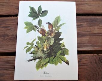 Vintage Audubon Robin Print