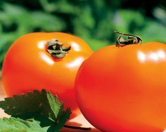Tomato Seeds - CHEF'S CHOICE ORANGE - Hybrid Tomato - Gmo Free - 10 Seeds
