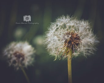 Dandelion Flower Photo Print Fine Flower Photograph Nature Photography Dandelion Flowers Botanical Photography, Unframed Prints