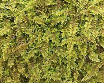 LIVE FERN MOSS - 2 Gallon Bag Full - Sheet Moss, Not Preserved, Wedding Floral Supplies Fairy Garden Crafts Terrariums