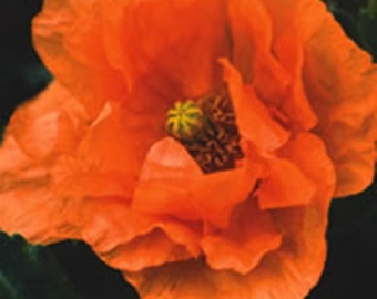 Papaver rupifragum Orange Feathers (Spanish Poppy) - 50 seeds.  Beautiful double Spanish Poppy with large terracotta-orange flowers.