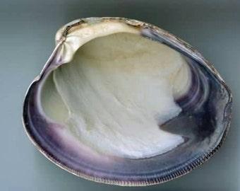 50ct rare Clam shells Cape's best Purple & White hues