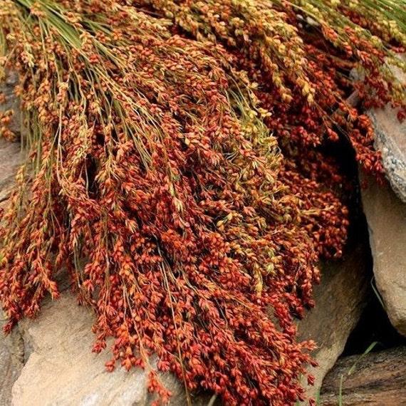 Broom Corn Seeds Sorghum Bicolor 30seeds