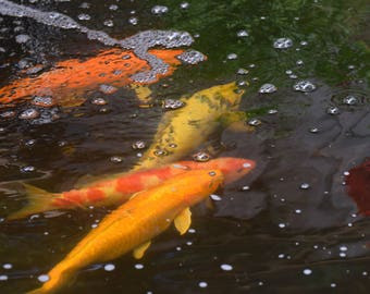 My Koi pond and all four Koi at the same time