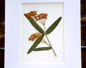 Real Pressed Flower Botanical Art Herbarium Specimen of Butterfly Weed 5x7 OR 8x10