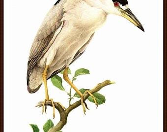 "Black-Crowned Night Heron painted by J F Landsdowne for the book Birds of the Eastern Forest 1. The page is approx. 9 1/2"" wide and 13"" wide"