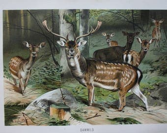 old antique print fallow deer 1895