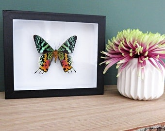 Urania ripheus // insect museum box // colorful // shadowbox // mounted