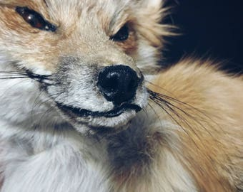 RESERVED Large Red Blonde Fox Soft Mount Taxidermy