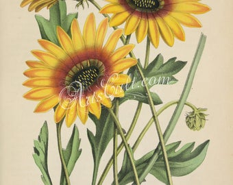 flowers-30159 - arctotis acaulis speciosa annual perennial plant yellow aster sunflower-like digital vintage old illustration floral image