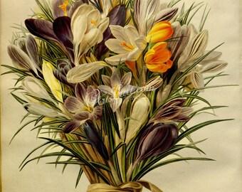 flowers-17041 - Spring Crocus bouquet flavor bulb white corm iris vintage digital picture book public domain image scan high resolution jpg