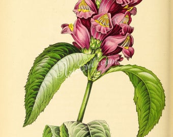flowers-27009 - Oblique-leaved Chelone, chelone obliqua, Red turtlehead, Pink turtlehead, Rose turtlehead vintage illustration digital image