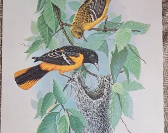 Vintage Baltimore Oriole Art Print