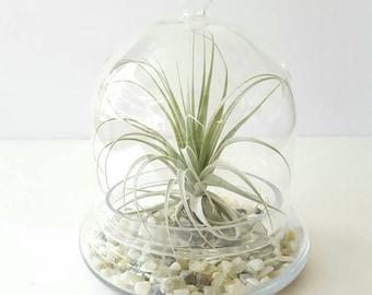 Tillandsia Terrarium, Glass Dome Air Plant Terrarium