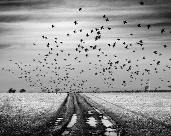 The Starlings II, Wales, Birds, Limited Edition Photograph, Fine Art Print, Landscape, Field, Winter