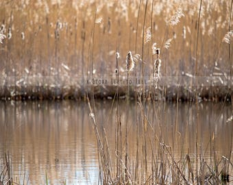 Water Background for Photographers, Cattails Backdrop, Nature Digital Background, High Resolution background