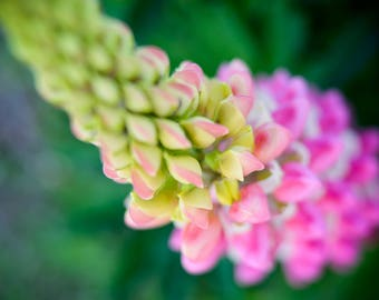 Pink and white lupine flower macro on green background fine art print photography