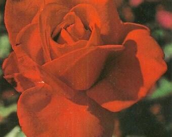 Vintage 1970s Postcard Red Rose Pink Flower Wildflower Garden Romantic Spanish Photo Card Photochrome Era Postmarked