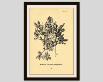 "Antique Flower Print, 5"" x 7.75"", Botanical Illustration, Vintage Wall Art, Floral, Cottage Decor, Wildflower, Gardener, Honeysuckle (49)"