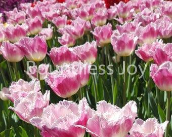 Pretty Pink Tulip Photo Print, Pella Iowa, Dutch Holland