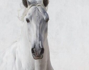 The White Stallion's Face - Fine Art Horse Photograph - Fine Art Print - Horse - Lusitano