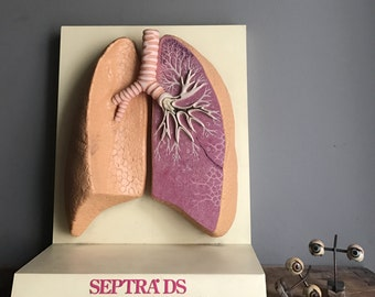 Lung Medical Model Anatomy Display