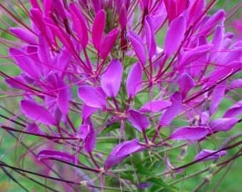 ACLEQ) QUEEN VIOLET Cleome~Seeds!!!~~~~~~Brings Those Butterflies Home!