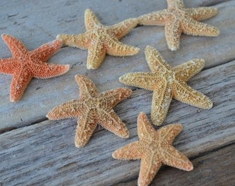 "Sugar Starfish (1-2"") 