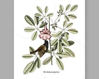 Catesby Bird Print #3 Bird Art,  Bahama Sparrow, Catesby Natural History Bird Picture, bird nursery wall decor Gnosis Picture Archive