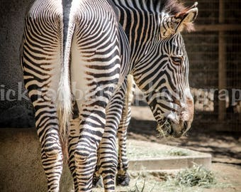 Zebra Photo Fine Art Photography Animal Photography San Diego Zoo Animal Lover Kids Room Wall Art Nature Cute Photo