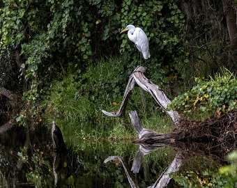 Great Egret, Double Vision