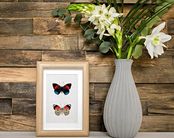Real framed butterfly: Callicore hystaspes // back & front // shadowbox // mounted