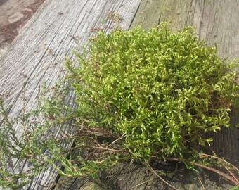 Green Dried Natural Moss, Forest Lichen, Natural Decor, Terrarium Craft Supplies