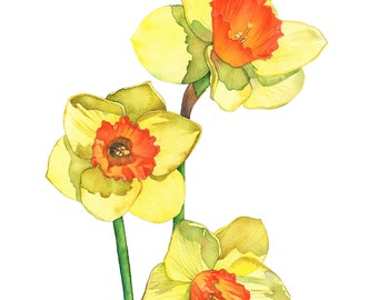 Daffodil watercolour painting print, daffodil print of watercolour painting, D14816, A3 size, daffodil painting. botanical wall art