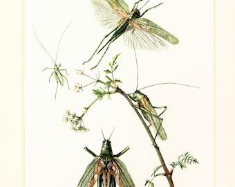 1960 Vintage Greeen Cricket Print. Orthoptera Illustration. Insect. Entomology. Natural History.