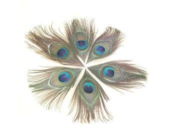 10 10x18cm Peacock eye feathers