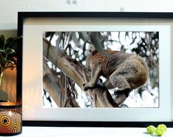 Photograph of koalas in Australia