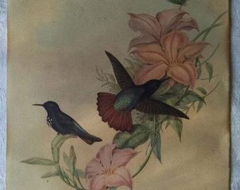 Hummingbird Lithograph, Aglaeagal Pamela