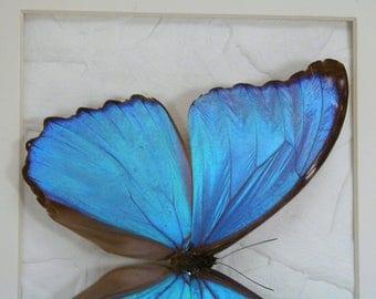 Real Framed Butterfly - Iridescent Blue Morpho Alexdrovna from South America