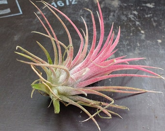 Tillandsia ionantha - Air Plants - 1 Plant
