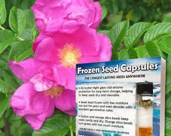 Japanese Rose Seeds (Rosa rugosa rubra) 20+ Medicinal Herb Seeds in Frozen Seed Capsules plus FREE 6 Variety Seed Pack!